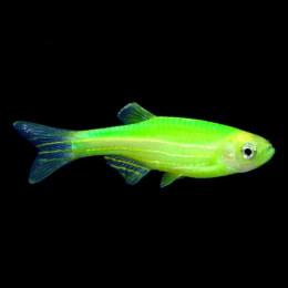 Данио ГЛО зеленый лазер 2см