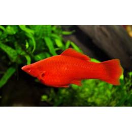 Меченосец рубиновый 3см. Супер яркие красноглазые.