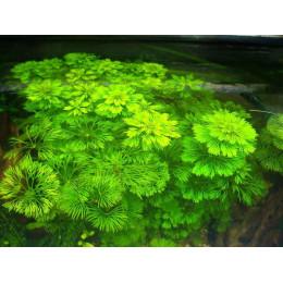 Лимнофила сидячецветковая, Горшок