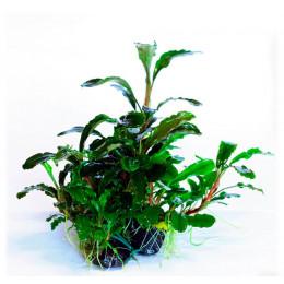 Буцефоландра зеленая волнистая, горшок