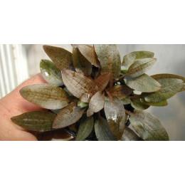 Криптокорина вендки красная, Горшок  (Cryptocoryne wendtii brown)