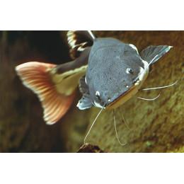 Краснохвостый Сом - Фрактоцефал 6см
