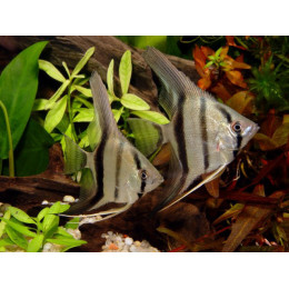 Скалярия березка (зебра) 5см
