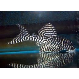 Гипанциструс тигровый королевский, L-066 5см