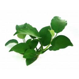 "Анубиас бартера ""Broad leaf"", куст"