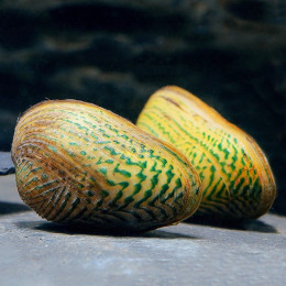 Мидия узорчатая, Мидия криспата 3-4см