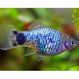Пицилия голубая 1,5-2см