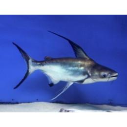 Пангасиус  высокоплавничный (Акулий сом) 4см