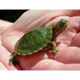 Красноухая черепаха 4см