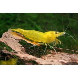 Креветка Желтый огонь