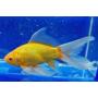 Золотые рыбки, карпы (21)