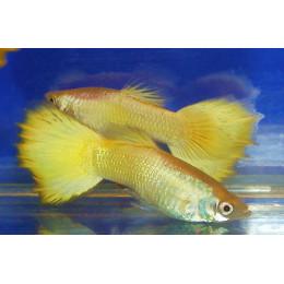Гуппи желтые микариф самцы 3,5см