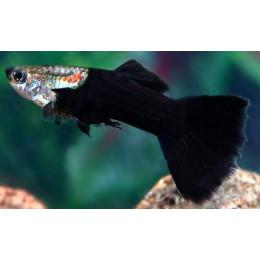 Гуппи черный принц самцы 3,5см