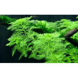 Зеленый перестолистник, Ветка  (Myriophyllum spicatum-submerse)