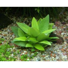 Лимоник карликовый, Горшок  (Hygrophila corymbosaCompacta-sub)