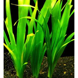 Валиснерия гигантская, Горшок,  (Vallisneria gigantea-submerse)