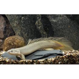 Полиптерус сенегальский 5см