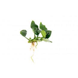 Анубиас нана толстый лист, куст