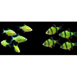 Барбус ГЛО зеленый 1,5см