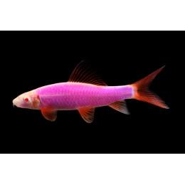 Лабео ГЛО фиолетовый 2,5-3см