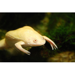 Лягушка Шпорцевая Золотая 3см